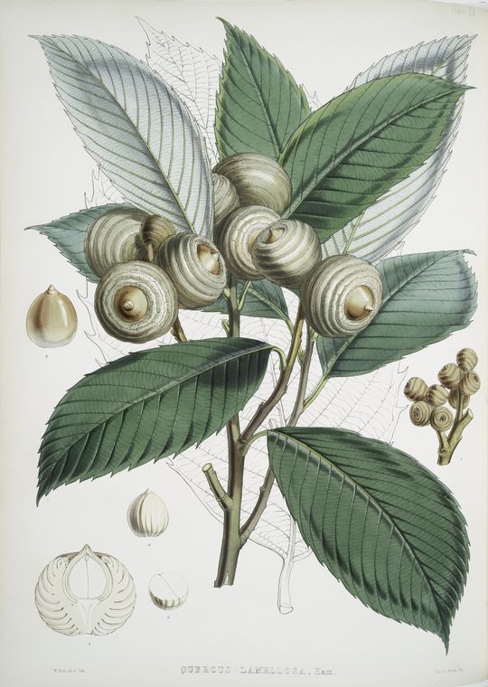botanical image from New York Public Library Digital Gallery