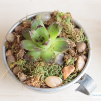 Use unique, upcycled containers, to create your own succulent dish garden. These tin coffee cups are just the right size to hold hens and chicks and other succulents.