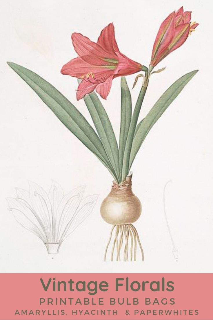 vintage amaryllis bulb botanical image